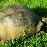 Tortoise in the Galápagos